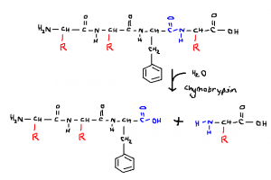 Cleavage at carboxyl end of hydrophobic amino acid, phenylalanine.